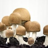 Bio-Reishi-Seta-polvo-de-cpsulas-93-Seta-de-cpsulas-cada-uno-con-400-mg-alta-calidad-Seta-polvo-Vital-Seta-polvo-Fabricado-en-Alemania-superalimentos-100-Vegan-0-2