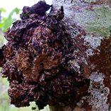 Chaga-Mushroom-Extract-Powder-Parent-0-2